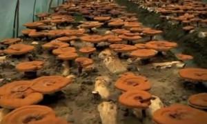 Органическое выращивание ганодермы