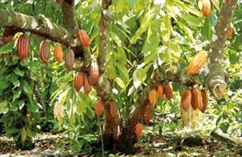 Дерево какао